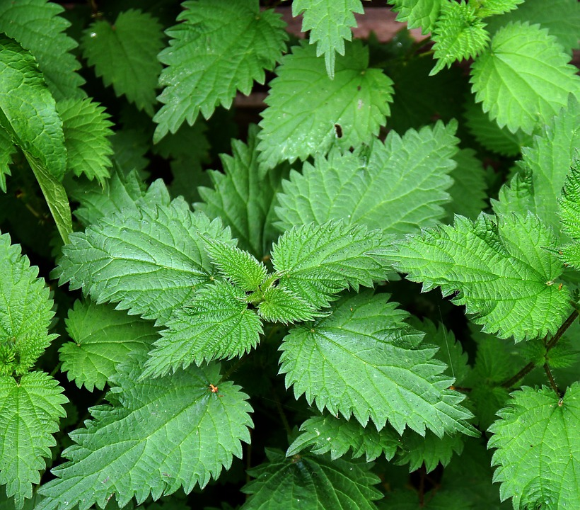 nettles proven to help with snoring